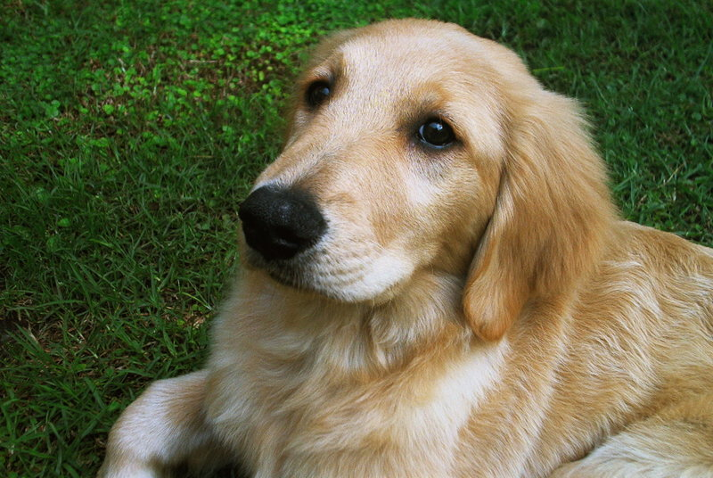 golden retriever with pretty eyes