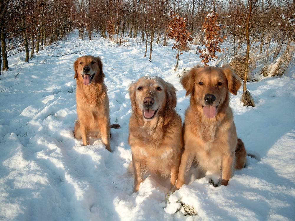 three goldens in the snow