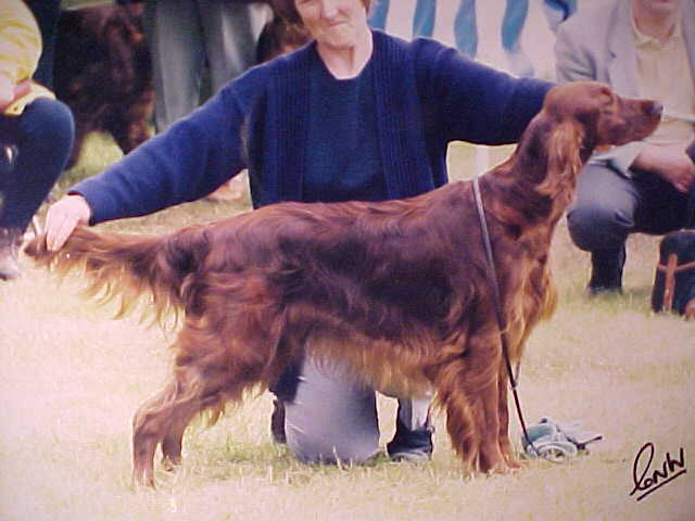 Irish Setter getting stretched