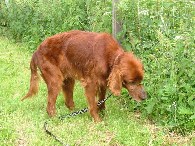 Irish Setter sniffing in grass