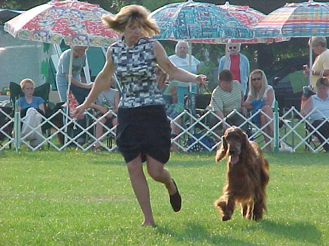 Irish Setter running on leash