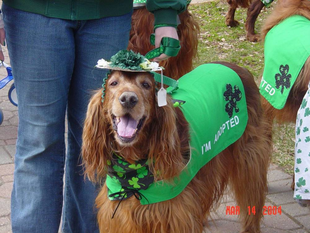 Irish Setter dressed up for St. Patty's