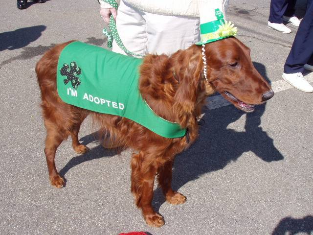 Irish Setter in St. Patty's parade