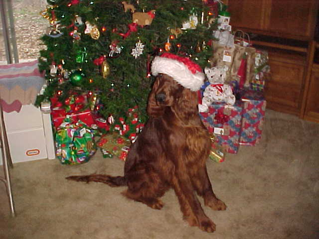 Irish Setter dressed for Christmas