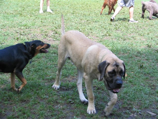 Mastiff getting chased