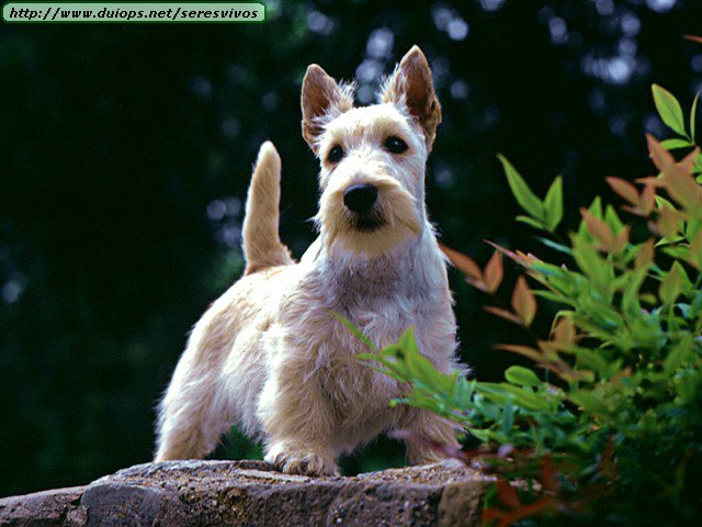 Scottish Terrier standing on stump