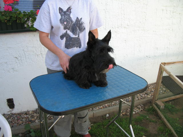 Scottish Terrier on table