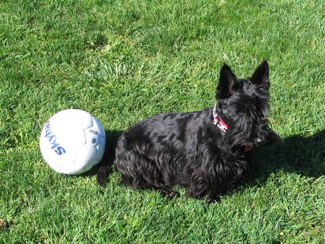 Scottish Terrier with ball