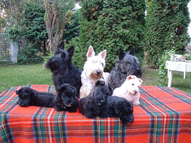 Scottish Terrier's and pups