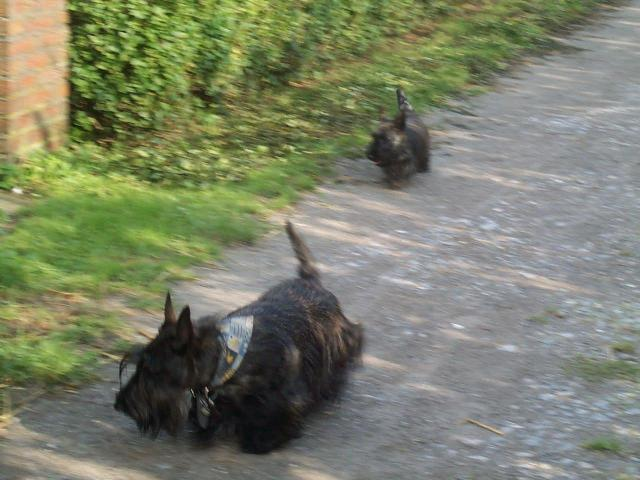 Scottish Terrier running