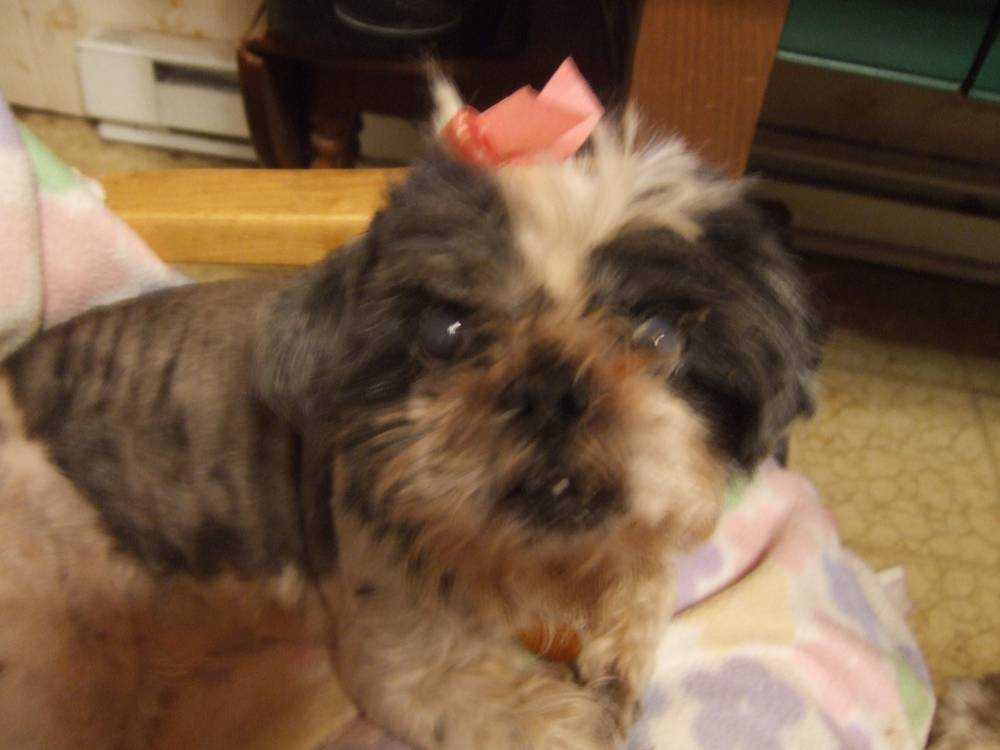 Angel age 12 yrs. 1 Wk after being rescued from Puppy Mill