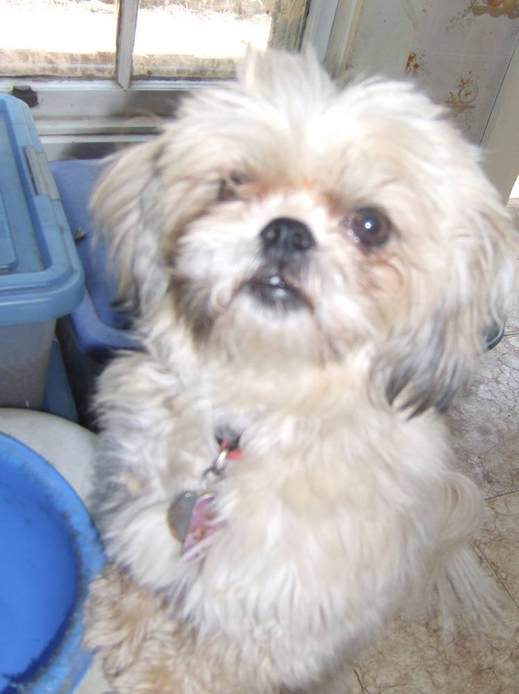 Shih Tzu Dog Breed Information Puppies Amp Pictures