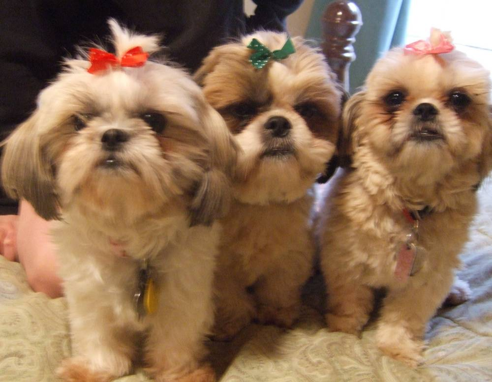 Our 3 Shih-Tzus Nikki (red bow), Tobe (green bow) & Chrissy Jo (pink bo