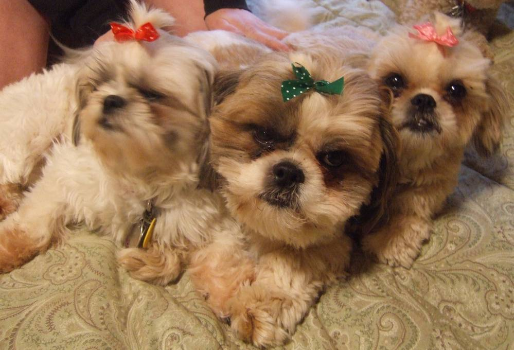 Our three Shih-Tzus
