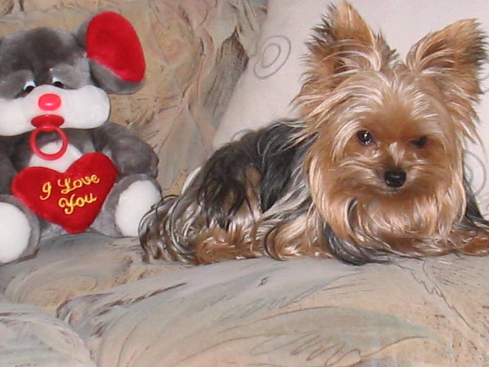 Yorkshire Terrier with toy