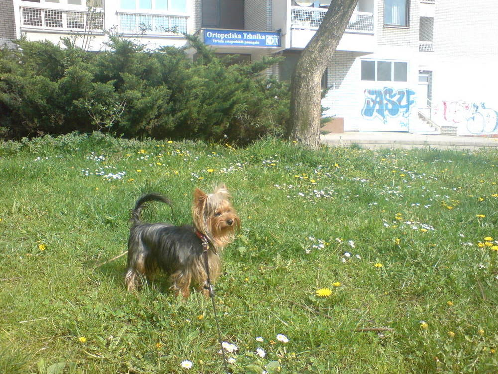 Yorkshire Terrier in grass