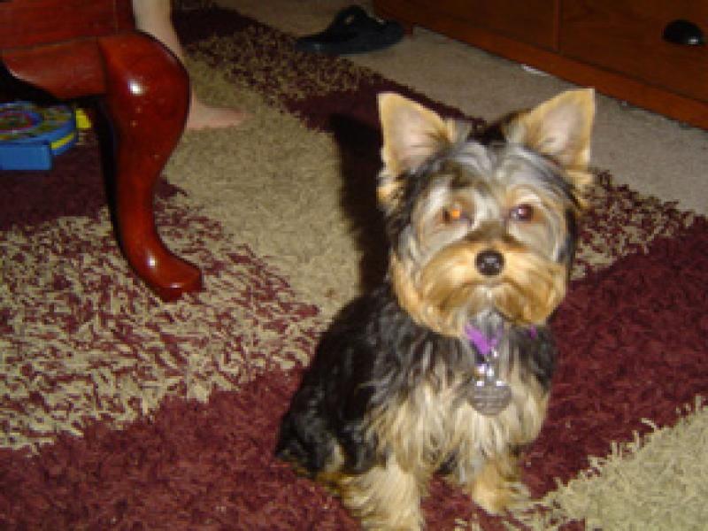 Yorkshire Terrier on rug