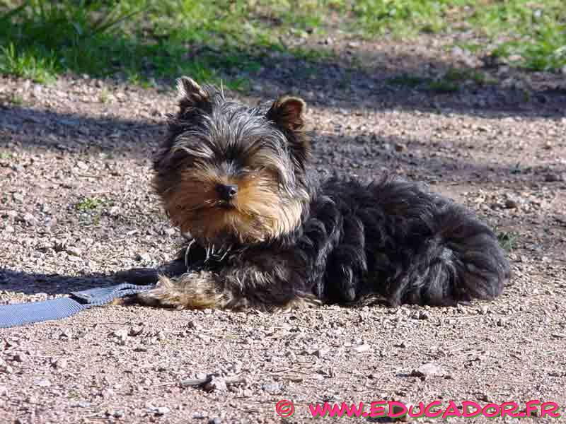 Yorkshire Terrier laying in gravel