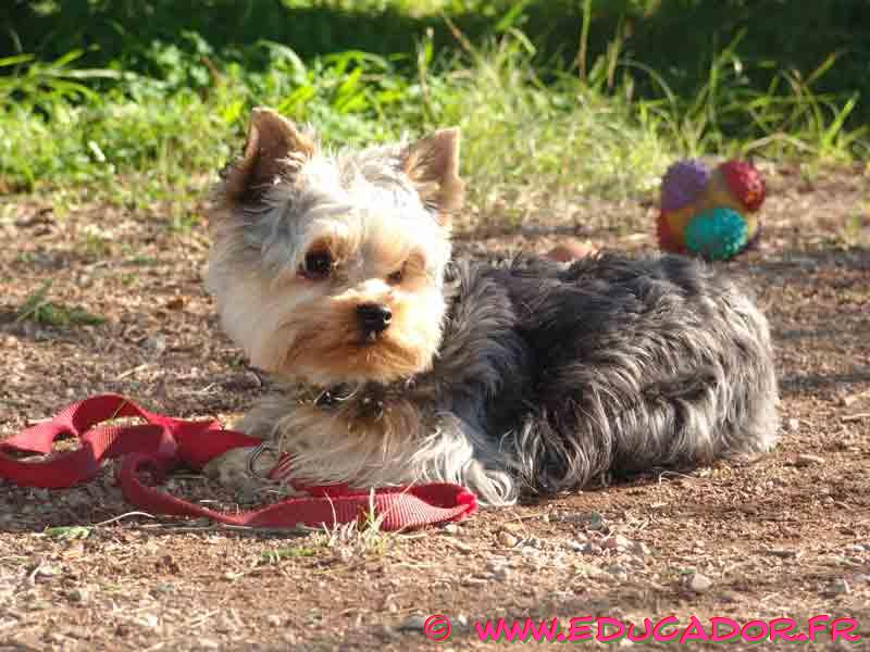 Yorkshire Terrier laying down