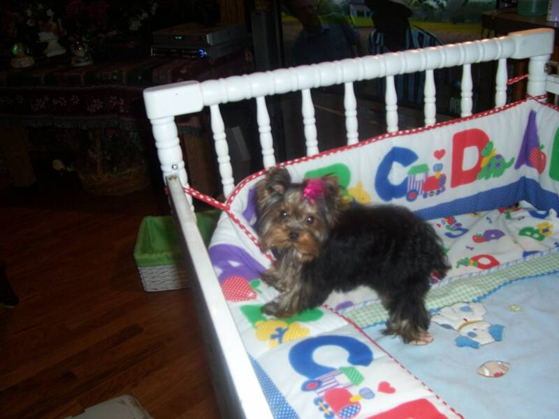Yorkshire Terrier sitting in crib
