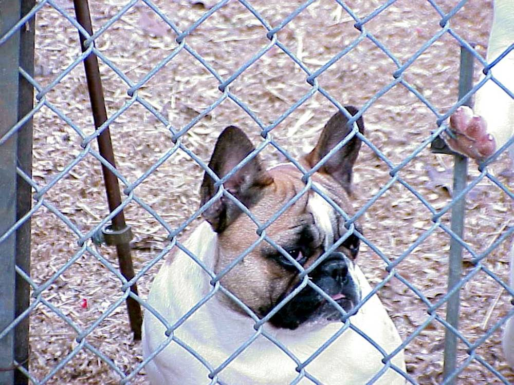 French Bulldog behind bars