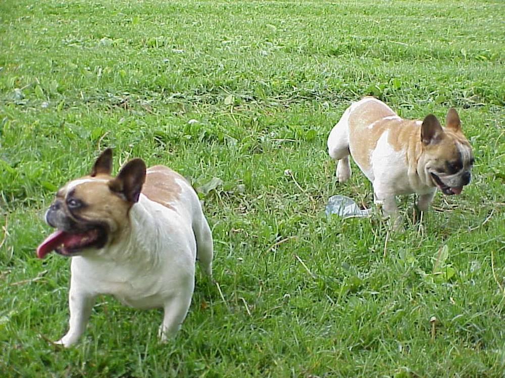French Bulldog's playing in grass