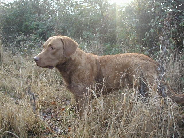 Chesapeake Bay Retrievers