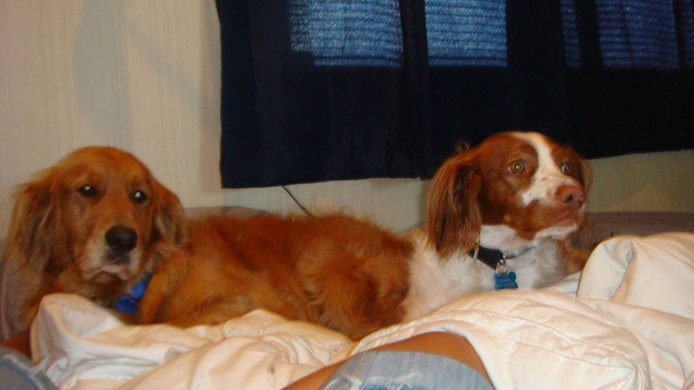 Lily and Cooper, the Brittany