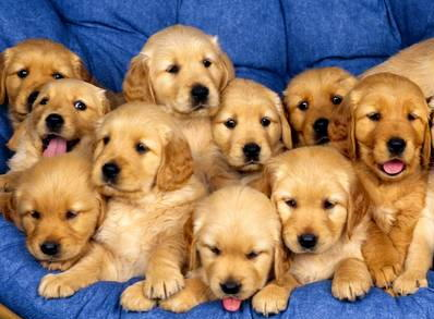 Golden Retriever Puppy Parade