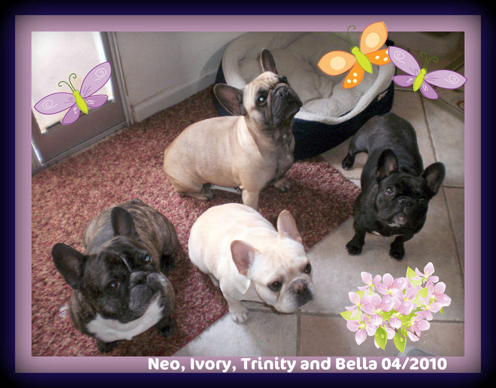 Neo, Trinity, Ivory and Bella (Tucker's Frenchies)