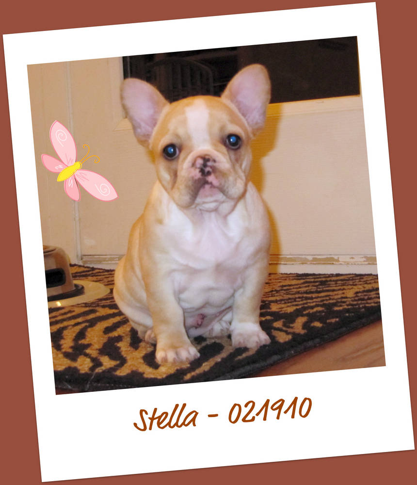 Stella (Tucker's Frenchies)