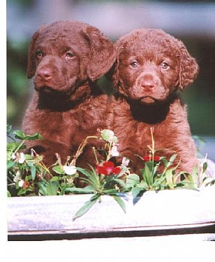 Chesapeake Bay Retriever Pups