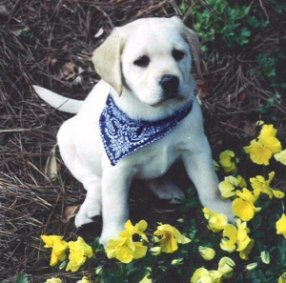 Lab puppy wearing bandana