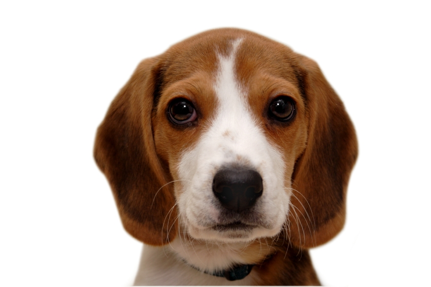 beagle dog breed information puppies pictures. Black Bedroom Furniture Sets. Home Design Ideas