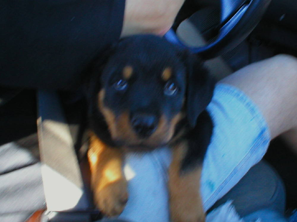 Rocky on his way home @ 8 weeks