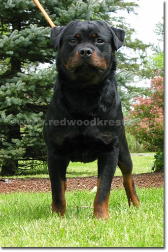 2x Youth Sieger, 2x Best Puppy, Redwood Krest's Xamos