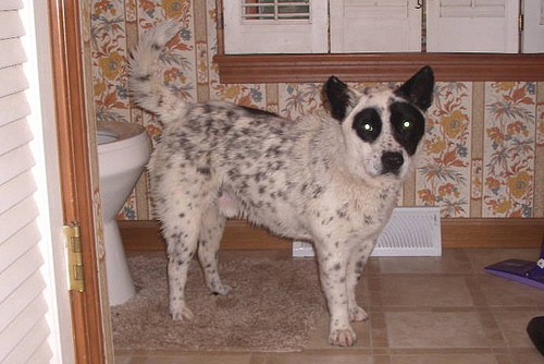 Austrailian Cattle Dog pictures