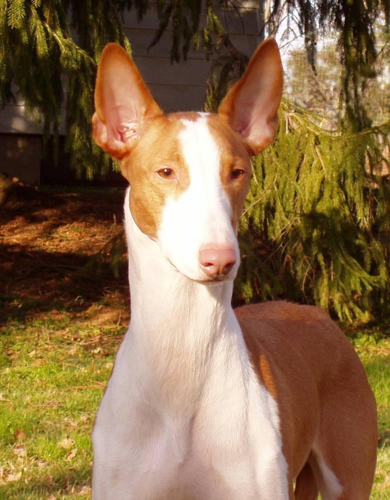 Ibizan with ears up