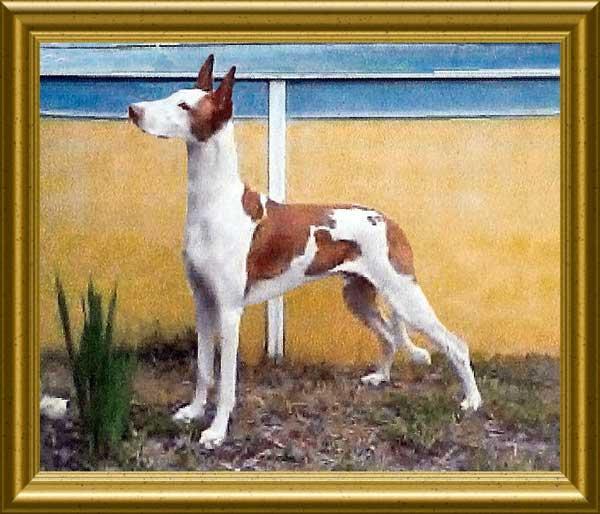 Ibizan posing in frame