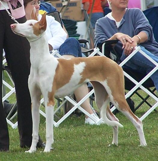 Ibizan at dog show