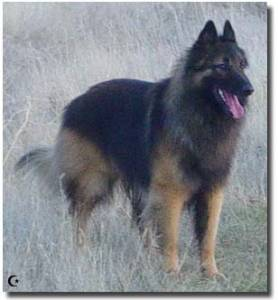 Belgian Tervuren Out in the Thicket