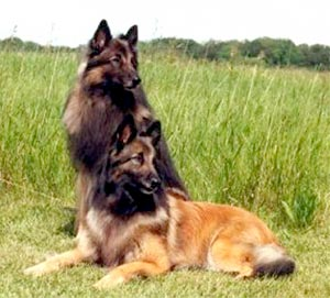 Two Belgian Tervurens Hanging Out
