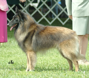 Belgian Tervuren Ready to GO
