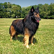 Belgian Tervuren Standing Outside