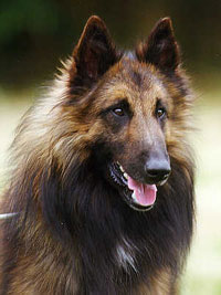 Belgian Tervuren Face Shot, Beautiful Dog
