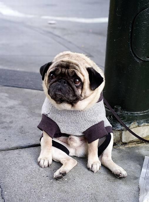 Depressed Pug 1