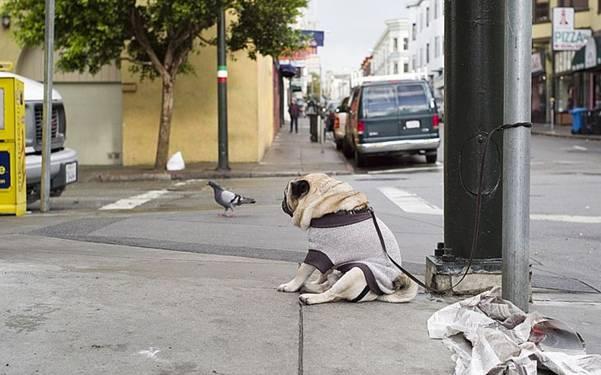Depressed Pug 2