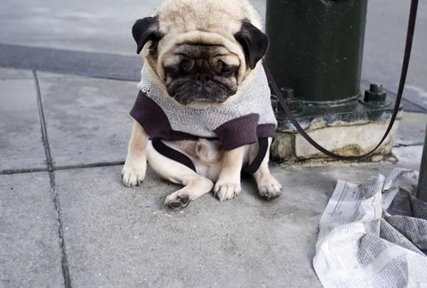 Depressed Pug 3