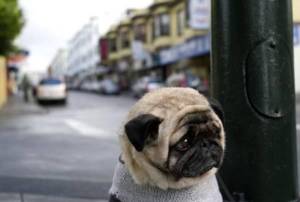 Depressed Pug 4