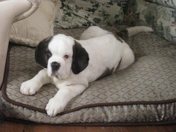 My St. Bernard Puppy